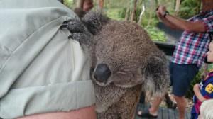 Här är en koalabjörn som jag klappade på zoo i Australien.